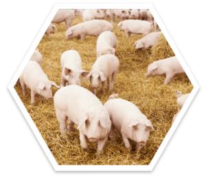 Schweine auf Stroh in der biologischen Schweinehaltung. ActivePro